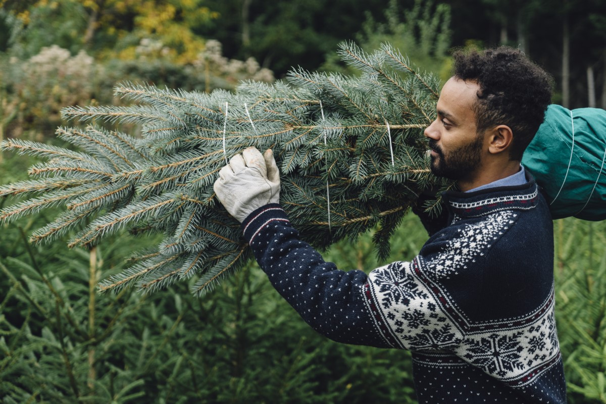 Male seasonal worker carrying a Christmas tree for a family.